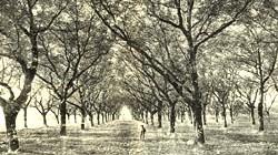 Photo historique verger vallée de l'isère